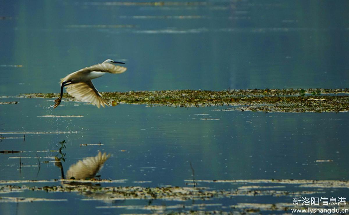 洛河---白鹭飞舞