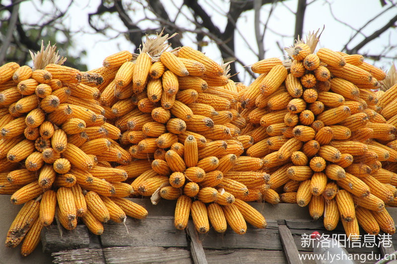 今年玉米喜获大丰收
