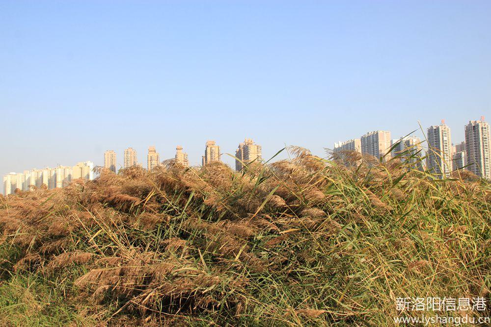 洛浦河边拍芦苇4.jpg