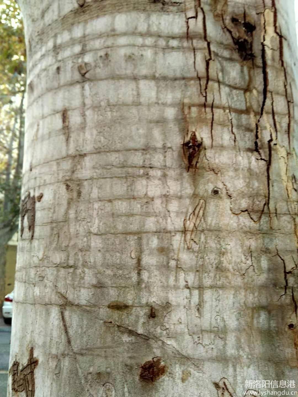 芳林路的树松绑了留下的痕迹