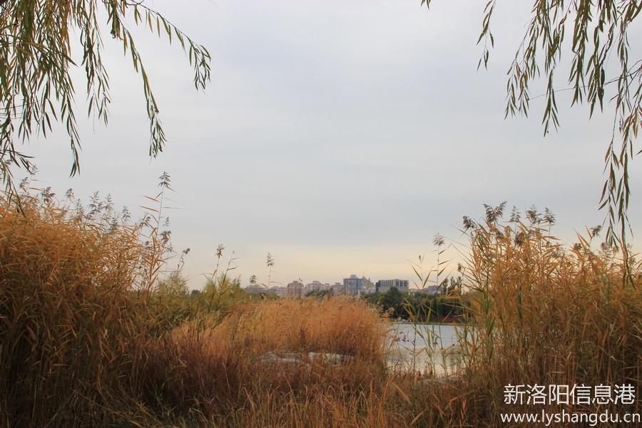 照片帖(810)秋天的记忆:深秋芦苇黄