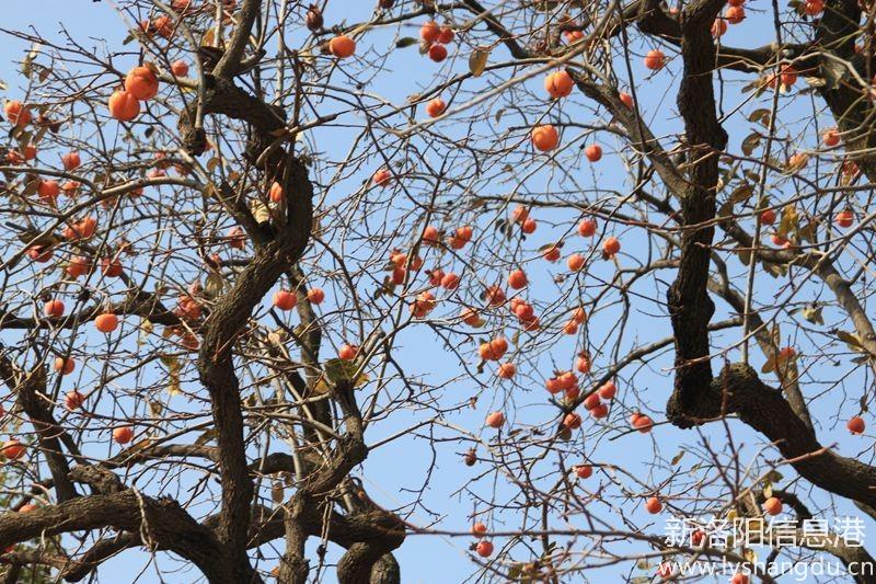 照片帖(1095)   柿满枝头