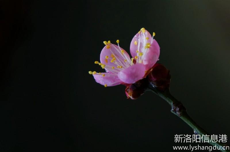 寒梅报春早--摄于洛阳国花园